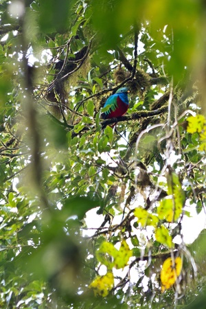 A beautiful male resplendent quetzal perched on a branch in the Monteverde Cloudforest Preserve in Costa Rica