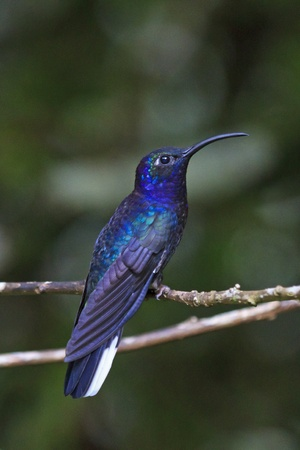 A beautiful male Violet Sabrewing Hummingbird perched on a branch in Monteverde, Costa Rica Standard-Bild