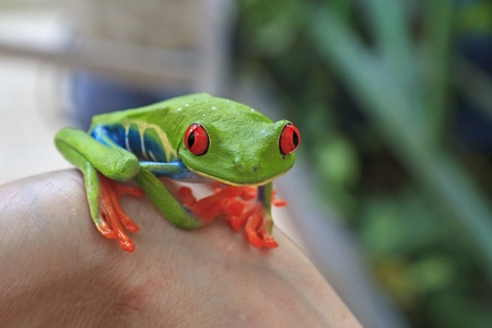 A tiny, brightly colored red eyed tree frog perched on someone's wrist in Costa Rica Stok Fotoğraf