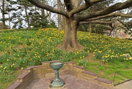 spellbinder: Spellbinder daffodils bloom beneath an oak tree in the Brooklyn Botanic Gardens in New York City