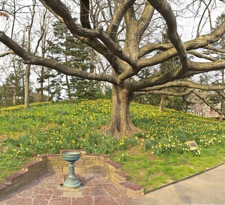 spellbinder: Spellbinder daffodils bloom beneath an old oak tree in the Brooklyn Botanic Gardens in New York City