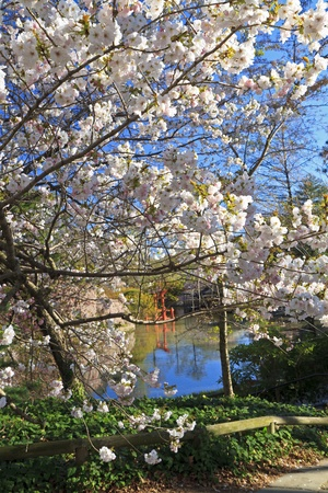 The Shinto shrine seen amongst the blossoms at the Japanese Hill-and-Pond Garden at the Brooklyn Botanic Gardens on a sunny Spring morning. photo