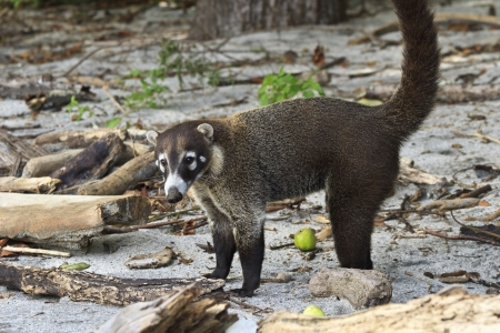 A white-nosed Coati on Egg Beach in Costa Rica - a member of the racoon family. (Nasua Narica) Stok Fotoğraf