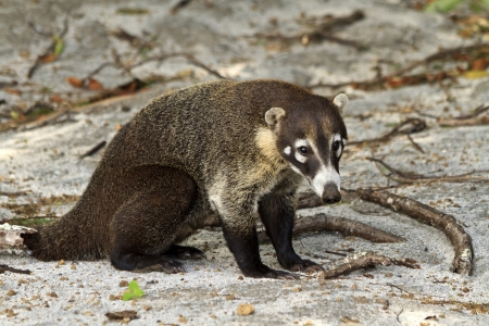 A white-nosed Coati on a Costa Rican beach - a member of the racoon family. (Nasua Narica) Stok Fotoğraf