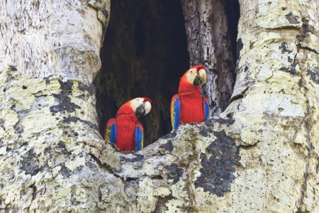 mated: Mated pair of Scarlet Macaws in their nest in Carara National Park, Costa Rica