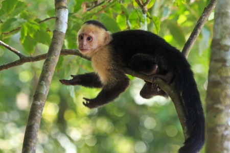 A white-faced capuchin poses on a tree limb, seeimg to say 'I don;t know', in Manuel Antonio National Park, Costa Rica
