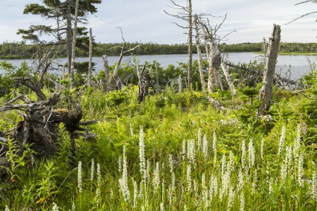 morne: A stand of Canada Burnet wilflowers near a pond in Gros Morne National Park, Newfoundland and Labrador