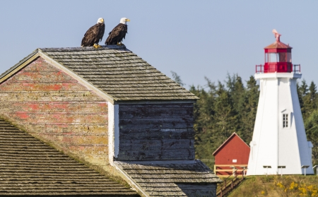 mated: A pair of bald eagles perched on the roof of an old fish canning factory in Lubec, Maine, with Mulholland Point Light on Campobello Island in the background