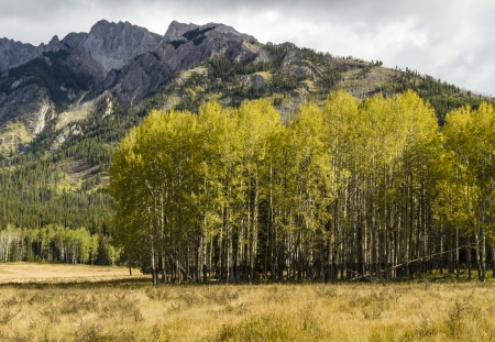 A stand of aspen trees in Hillsdale Meadow under craggy Mount Ishbel off the Bow Valley Parkway in Banff National Park, Canada Stock Photo