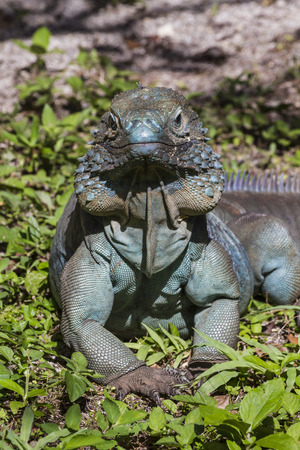 An endangered male blue iguana istands proudly in the sun in Queen Elizabeth II Botanic Park on Grand Cayman, Cayman Islands photo