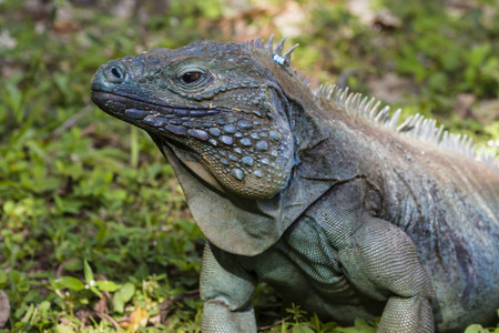 Close-up shot of a blue and turquoise  endangered male blue iguana in Queen Elizabeth II Botanic Park on Grand Cayman, Cayman Islands photo