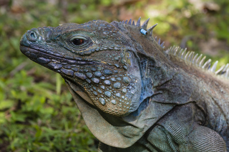 An endangered male blue iguana in the shade on the grass at Queen Elizabeth II Botanic Park on Grand Cayman, Cayman Islands photo