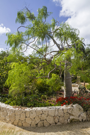A twisty-curvy Flour-Sack Tree  or Bottle Tree  in Queen Elizabeth II Botanic Park on Grand Cayman, Cayman Islands photo