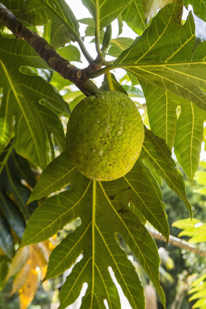 A single breadfruit on a tree in Queen Elizabeth II Botanic Park on Grand Cayman, Cayman Islands photo