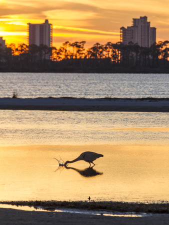 perdido: A Great Blue Heron silhouetted by golden sunset waters feeding in the shallows across from Perdido Key, Florida Stock Photo