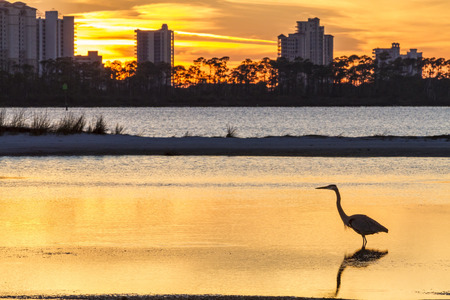 perdido: A Great Blue Heron silhouetted by golden sunset waters against Perdido Key, Florida