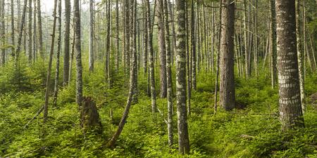 A lush evergreen forest near Ferd 版權商用圖片