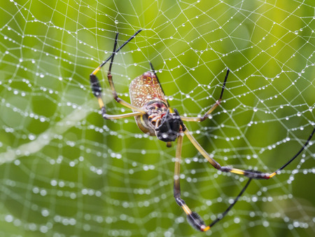 orb weaver: A Golden Orb Weaver Spider missing two legs in her wet web in the rainforest of Costa Rica. Stock Photo