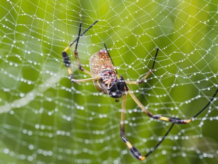 golden orb weaver: Un Golden Orb Weaver Spider mancano due gambe nel suo web bagnato nella foresta pluviale della Costa Rica.