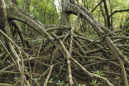 limbs: Limbs and roots of mangrove trees in Reserva Biological Nosara look like the trees are marching in Nosara, Costa Rica