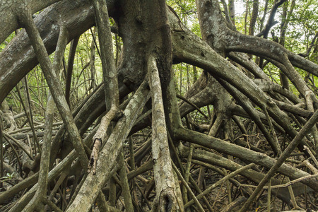 limbs: Limbs and roots of mangrove trees in Reserva Biological Nosara in Nosara, Costa Rica Stock Photo