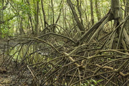 limbs: Limbs and roots of mangrove trees in Reserva Biological Nosara look alive in Nosara, Costa Rica