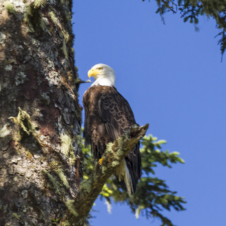 vancouver island: A bald eagle perched proudly on a branch near its nest on Vancouver Island in Ucluelet, British Columbia