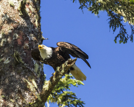 vancouver island: A bald eagle taking off from a branch near its nest on Vancouver Island in Ucluelet, British Columbia