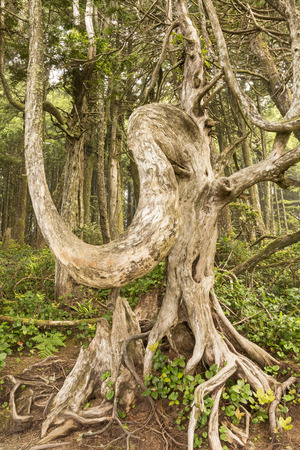 vancouver island: A gnarled, elephantine tree on the Lighthouse Loop of the Wild Pacific Trail in Ucluelet, Vancouver Island, British Columbia Stock Photo