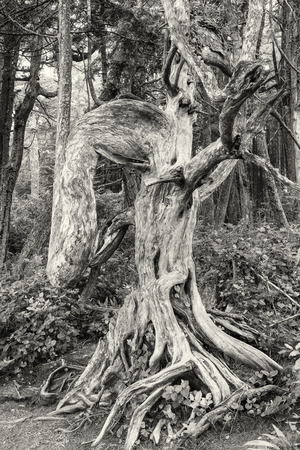 vancouver island: A gnarled, elephantine tree on the Lighthouse Loop of the Wild Pacific Trail in Ucluelet, Vancouver Island, British Columbia BW Stock Photo