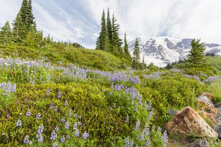 A swath or purple lupine wildflowers on a hillside below Mt. Rainier in Mount Rainier National Park, Washington