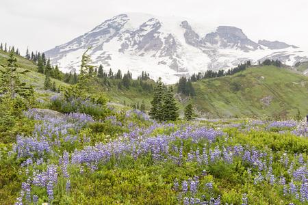 hillsides: Swathes of subalpine lupne blooming on the hillsides below Mt. Ranier