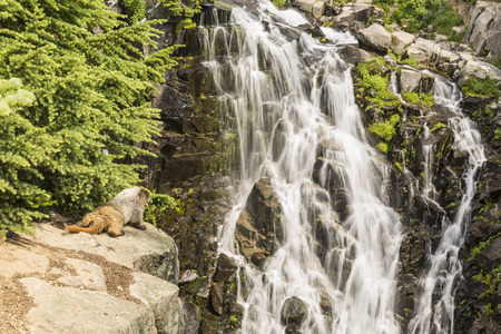 edith: A marmot watches as Edith Creek cascades at Myrtle Falls below Tahoma in Mt. Ranier National Park, Washington