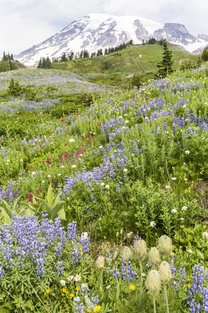 hillsides: Swathes of subalpine lupne, pasqueflowers and Magenta Painbrush blooming on the hillsides below Mt. Ranier