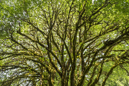 epiphytic: A sunlit bigleaf maple tree covered with epiphytic moss near Lake Crescent in Olympic National Park, Washington