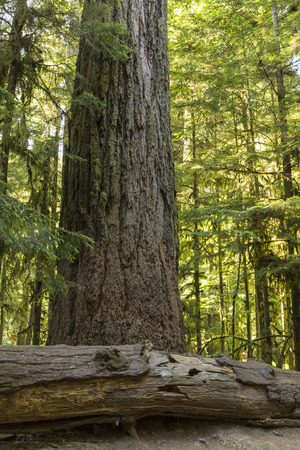 vancouver island: Giant Douglas Fir trees in Cathedral Grove, MacMillan Provincial Park, Vancouver Island, BC Stock Photo