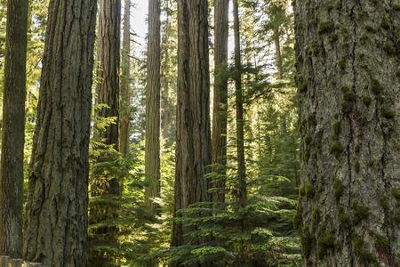 大聖堂グローブ、マクミラン州立公園、バンクーバー島、ブリティッシュで太陽までまっすぐに達する巨大なダグラスもみの木 写真素材