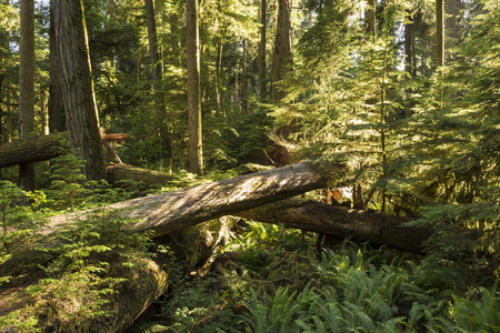 vancouver island: Saplings grow amongst downed giant Douglas Fir trees in lush Cathedral Grove, MacMillan Provincial Park, Vancouver Island, BC