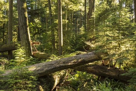vancouver island: Saplings grow amongst downed giant Douglas Fir trees in Cathedral Grove, MacMillan Provincial Park, Vancouver Island, BC