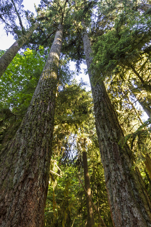 Giant Douglas Fir trees reach straight up to the sun in Cathedral Grove, MacMillan Provincial Park, Vancouver Island, BC