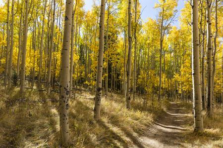 quaking aspen: The Colorado Trail winds through a colorful Aspen grove in Autumn color in the Kenosha Pass.