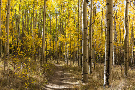 The Colorado Trail winds through a colorful Aspen grove in Autumn color in the Kenosha Pass.