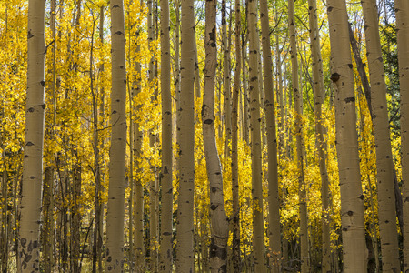 A colorful Aspen grove in Autumn color in the Kenosha Pass.