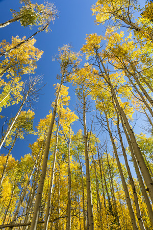 quaking aspen: Aspen trunks with golden quaking leaves reach for a blue sky on the Colorado Trail at Kenosha Pass in Colorado. Stock Photo