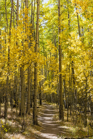 quaking aspen: Colorfull Aspens trees line the Colorado Trail in full Autumn color as it traverses through Kenosha Pass.