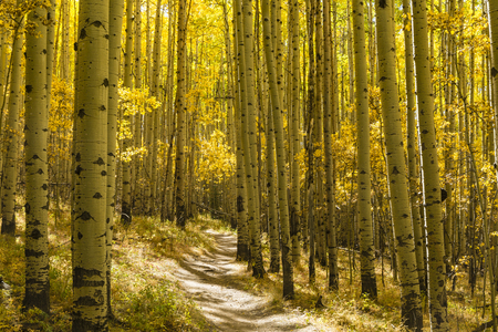 quaking aspen: A grove of Aspen trees in full Autumn color on the Colorado Trail in Kenosha Pass, Colorado.
