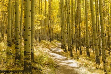 autumn color: A grove of Aspen trees in full Autumn color on the Colorado Trail in Kenosha Pass, Colorado.