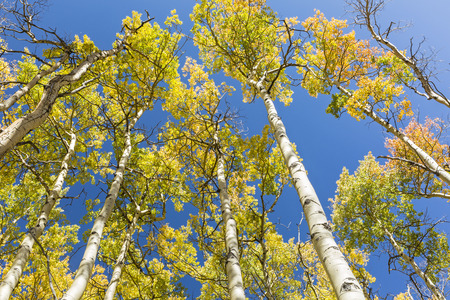 Aspen trunks with golden quaking leaves reach for a blue sky on the Colorado Trail at Kenosha Pass in Colorado. Stock Photo