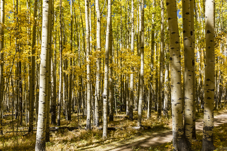 A grove of Aspen trees in full Autumn color on the Colorado Trail in Kenosha Pass, Colorado.