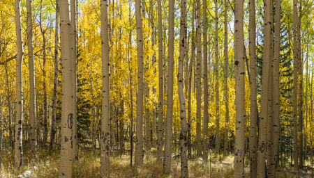 quaking aspen: The Colorado Trail winds through a colorful Aspen grove in Autumn color in the Kenosha Pass.